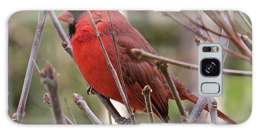 Male Cardinal Galaxy S8 Case featuring the photograph Cardinal 122 by Patsy Pratt