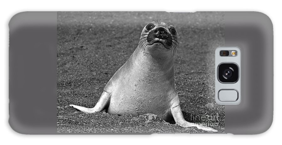Mirounga Angustirostris Galaxy S8 Case featuring the photograph Northern Elephant Seal Weaner by Liz Leyden