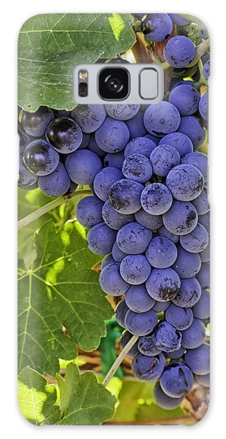 Colorado Wine Galaxy S8 Case featuring the photograph Red Wine Grapes Hanging On The Vine by Teri Virbickis