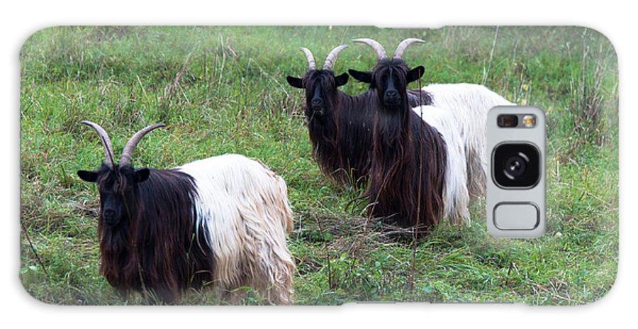 Blackneck Galaxy S8 Case featuring the photograph Valais Blackneck Goats by Frank Gaertner