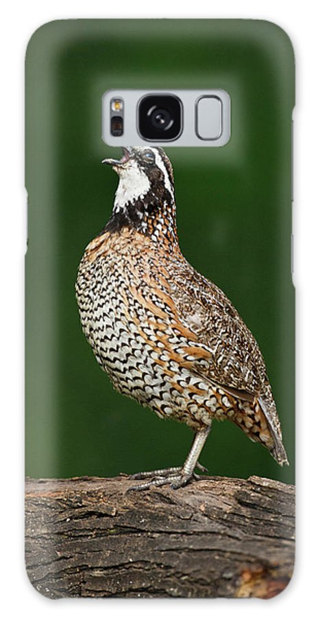Bird Galaxy S8 Case featuring the photograph Northern Bobwhite (colinus Virginianus by Larry Ditto