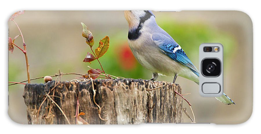 Acorn Galaxy Case featuring the photograph Blue Jay (cyanocitta Cristata 2 by Larry Ditto
