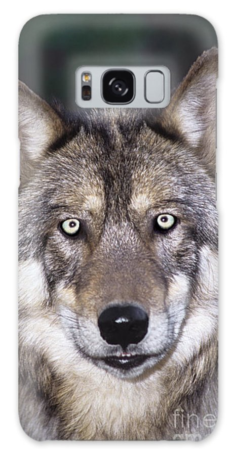 Gray Wolf Galaxy S8 Case featuring the photograph Gray Wolf Portrait Endangered Species Wildlife Rescue by Dave Welling