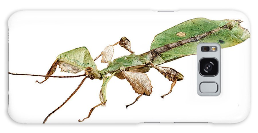 Animal Galaxy S8 Case featuring the photograph Leaf Insect Species Phyllium Bioculatum Male by Pablo Romero