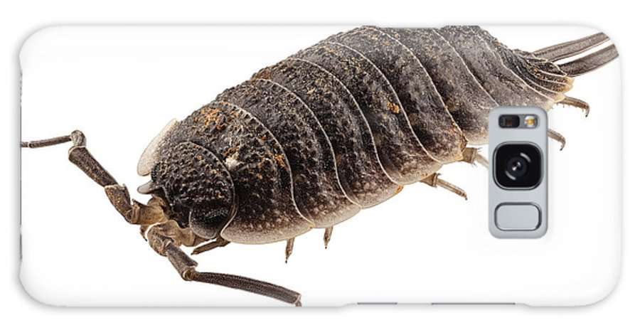 Antenna; Armor; Armored; Arthropod; Black; Brown; Bug; Centipede; Close-up; Closeup; Creepy; Crustacean; Exoskeleton; Eyes; Insect; Invertebrate; Isolated; Macro; Pest; Porcellio; Wagnerii; Shell; Small; White; Wild; Wildlife; Woodlouse; Malacostraca; Isopoda; Oniscidea; Porcellionidae Galaxy S8 Case featuring the photograph Woodlouse Species Porcellio Wagnerii by Pablo Romero