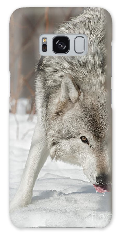 Timber Wolf Photography Galaxy S8 Case featuring the photograph Timber Wolf Pictures by Wolves Only