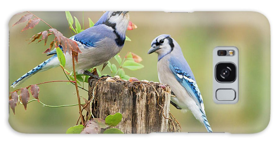 Acorn Galaxy S8 Case featuring the photograph Blue Jay (cyanocitta Cristata by Larry Ditto