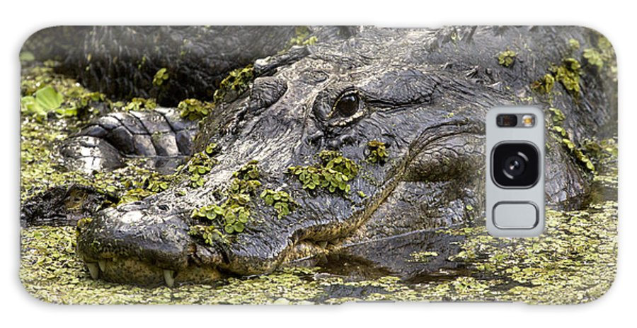 American Alligator Galaxy S8 Case featuring the photograph American Alligator Print by Meg Rousher