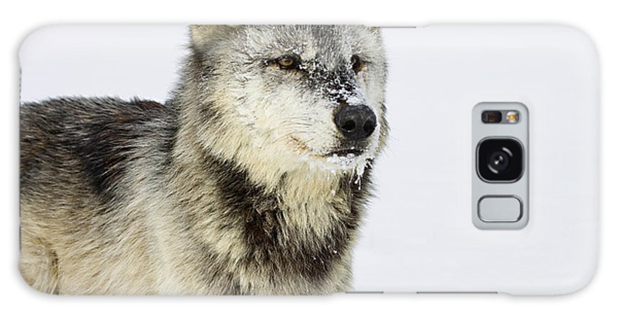 Wolf Galaxy S8 Case featuring the photograph Attentive by Jack Milchanowski