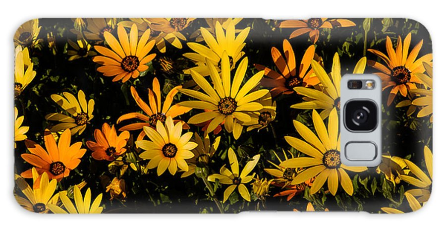 African Daisy Galaxy S8 Case featuring the photograph Beautiful African Daisies by Robert Bales