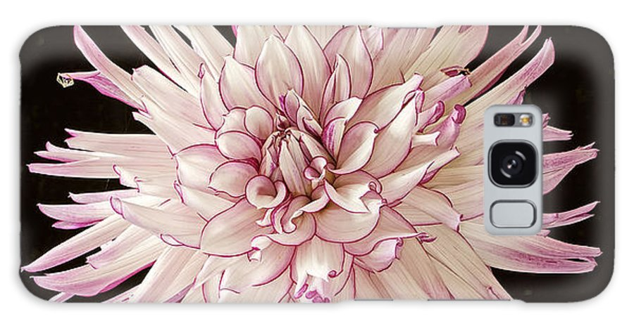 Dahlia Lavender White Black Background Flower Nature Garden Floral Belred Desire Beautiful One Flower Galaxy S8 Case featuring the photograph Belred Desire by Ann Jacobson