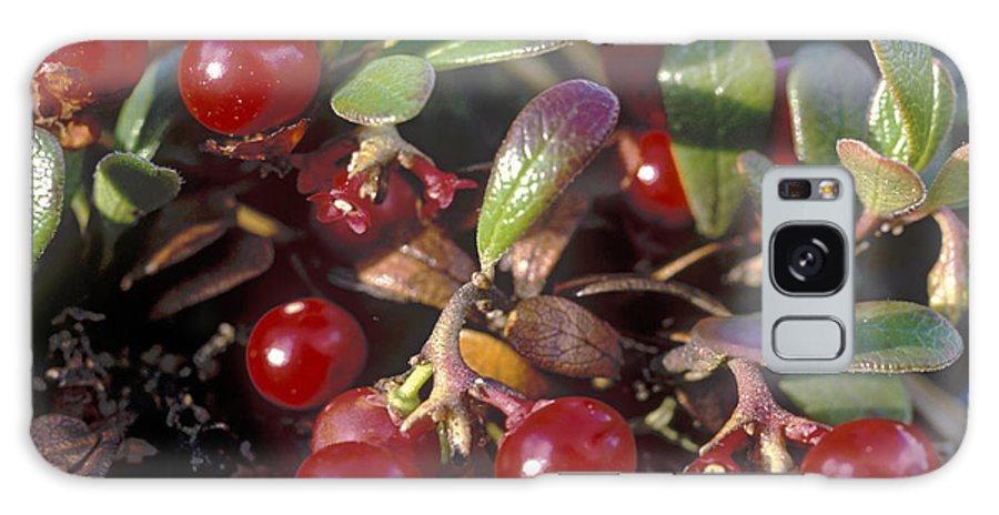 Bacca; Bearberry; Berries; Close-up; Close-up View; Flora; Fruits; Nature; Plant World; Plants Galaxy S8 Case featuring the photograph Berries by Anonymous