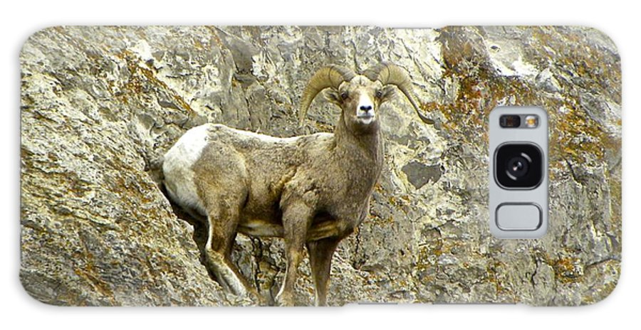 Big Horn Sheep Galaxy S8 Case featuring the photograph Big Horn Sheep On Mountain by Tisha Clinkenbeard