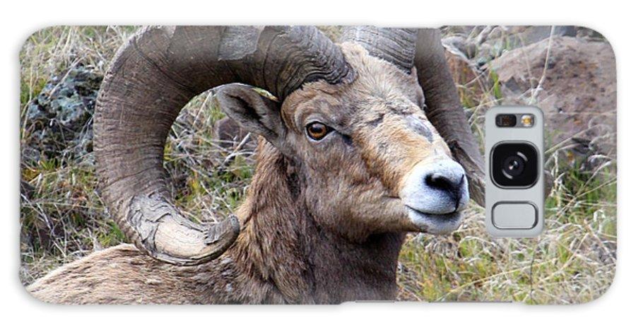 Bighorn Sheep Galaxy S8 Case featuring the photograph Bighorn Battle Scars by Steve McKinzie