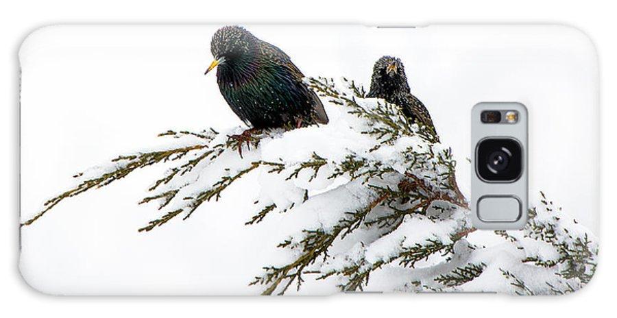 Blackbird Galaxy S8 Case featuring the photograph Blackbirds In Snow by Boyd E Van der Laan
