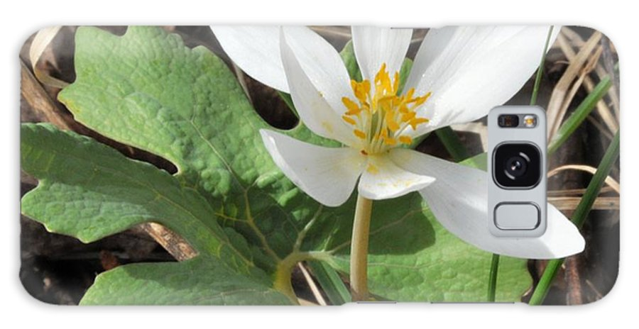 Bloodroot Galaxy S8 Case featuring the photograph Bloodroot by Valerie Kirkwood