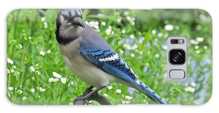 Blue Jay Galaxy S8 Case featuring the photograph Blue Jay 105 by Patsy Pratt