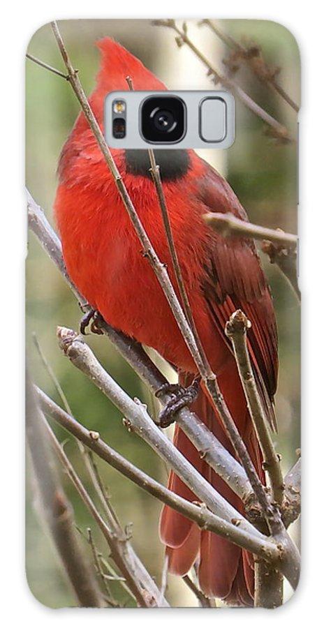 Male Cardinal Galaxy S8 Case featuring the photograph Cardinal 123 by Patsy Pratt