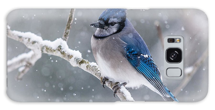 Blue Jay Galaxy S8 Case featuring the photograph Christmas Card Bluejay by Cheryl Baxter