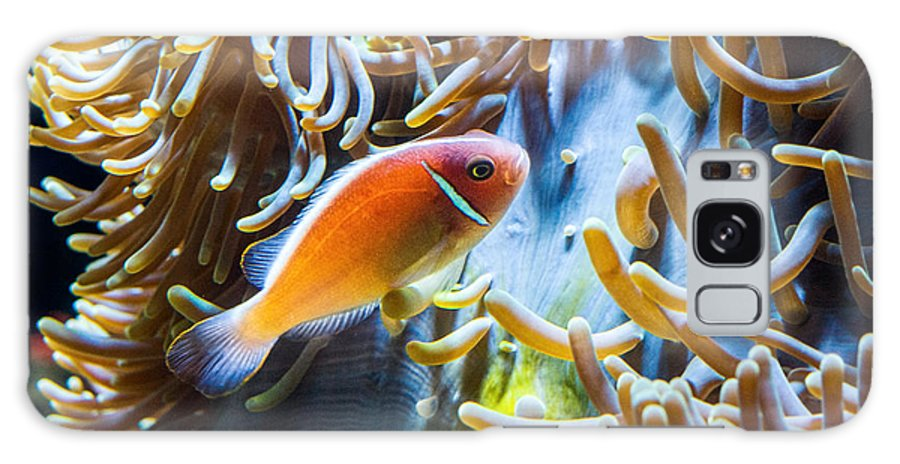 Amphiprion Galaxy S8 Case featuring the photograph Clown Fish - Anemonefish Swimming Along A Large Anemone Amphiprion by Jamie Pham