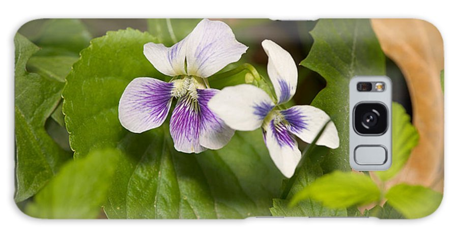 Common Violet Galaxy S8 Case featuring the photograph Common Violet by Bernard Lynch