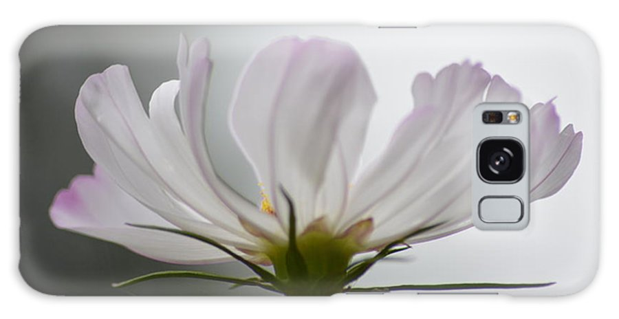Cosmos Rare Variegated Mainly White With Pink Galaxy S8 Case featuring the photograph Cosmos Rare by Philip Lazarus