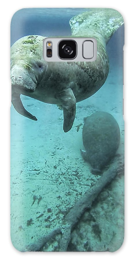 Manatee Galaxy S8 Case featuring the photograph Curious Manatee by Daniel Caron