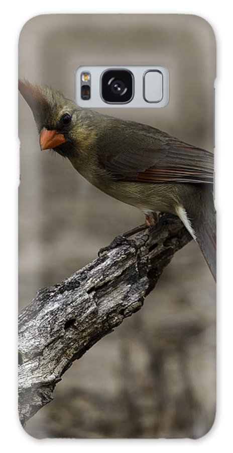 Birds Galaxy S8 Case featuring the photograph Curious Pyrrhuloxia by Donald Brown