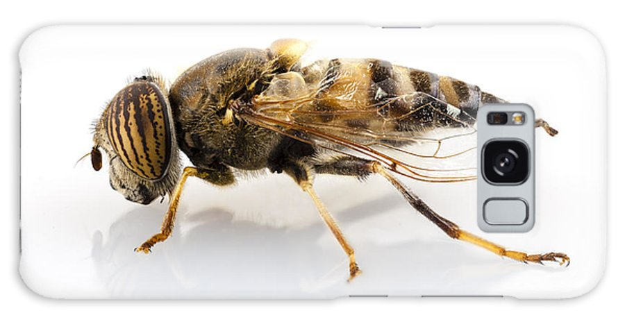 Striped Galaxy S8 Case featuring the photograph Eristalinus Taeniops Hoverfly Isolated Oin White Background by Pablo Romero
