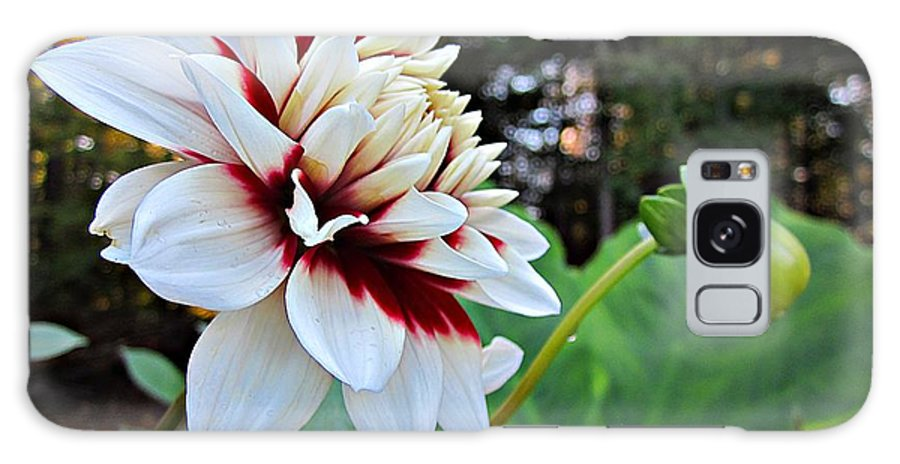 Galaxy S8 Case featuring the photograph Fall Dahlia by MTBobbins Photography