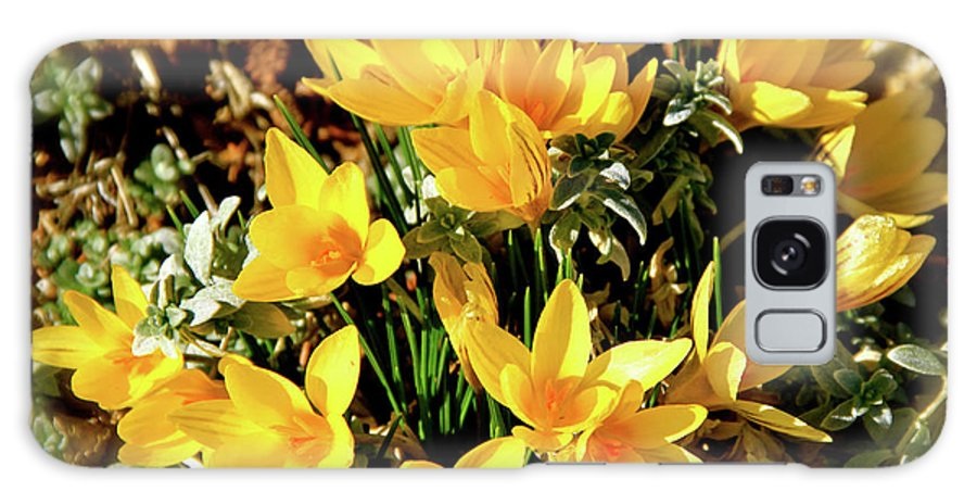 Crocus Galaxy S8 Case featuring the photograph First Crocus Serenade by Ed Riche