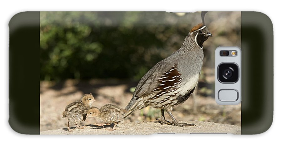 Gambel's Quail Galaxy S8 Case featuring the photograph Following In Daddy's Footsteps by Saija Lehtonen