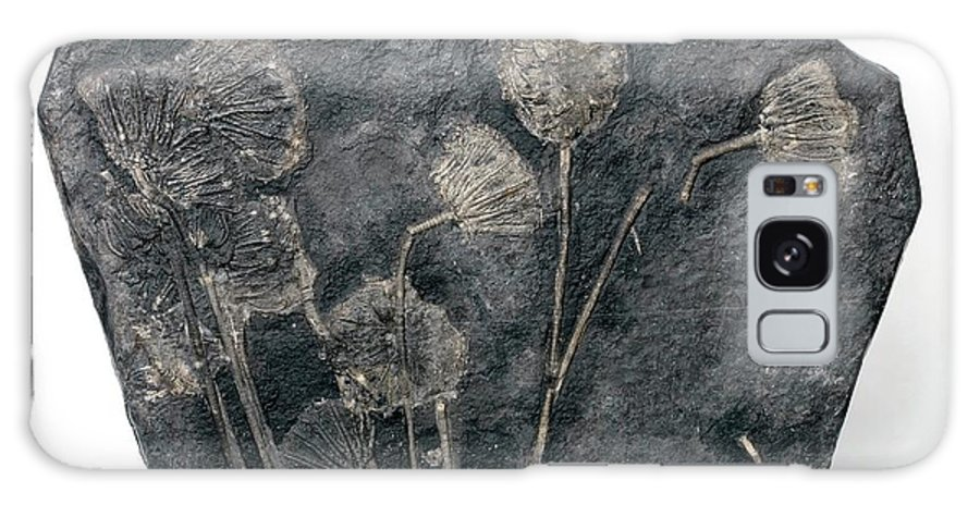 Traumatocrinus Kweichouwensis Galaxy S8 Case featuring the photograph Fossil Crinoids by Pascal Goetgheluck/science Photo Library