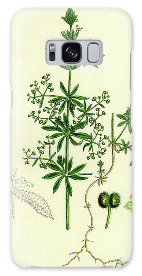 19th Century Galaxy S8 Case featuring the drawing Galium Vailantii Hispid-fruited Corn Bedstraw by English School