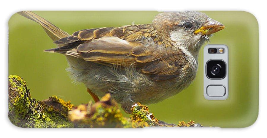 Birds Galaxy S8 Case featuring the photograph Gorrion House Sparrow by Guido Montanes Castillo