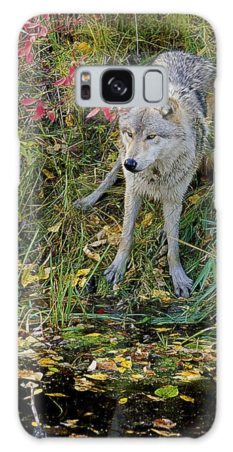 Wolf Galaxy S8 Case featuring the photograph Gray Wolf Drinking by Eric Albright