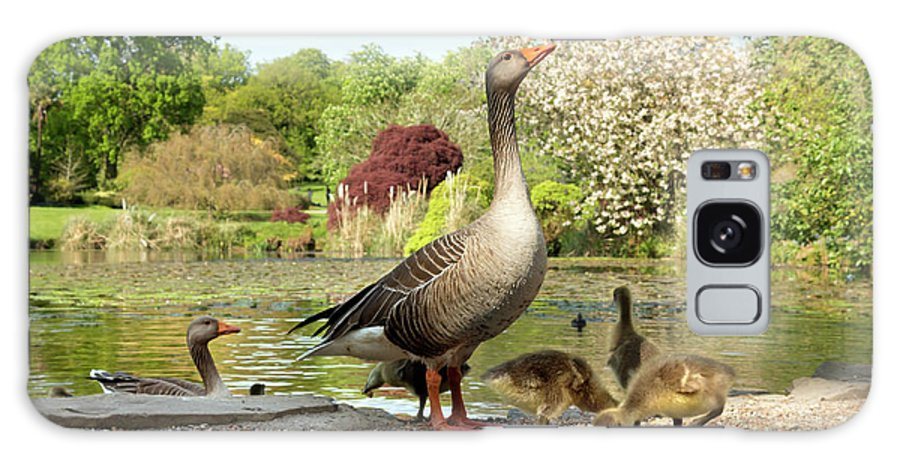 Anser Galaxy S8 Case featuring the photograph Grey Geese And Goslings by Daniel Sambraus/science Photo Library