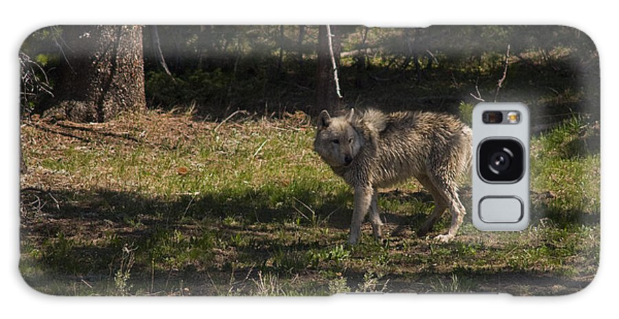 Canis Lupus Galaxy S8 Case featuring the photograph Grey Wolf  #3315 by J L Woody Wooden