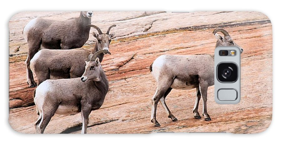 Big Horn Sheep Galaxy S8 Case featuring the photograph Group Leader by Adam Jewell