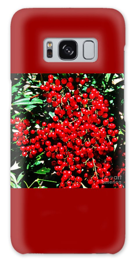 Christmas Art Holly Tree Bright Red Berries Dark Green Leaves Noel Colors Greeting Cards Holiday Cards Nature Baltimore Shadows Canvas Print Metal Frame Wood Print Available On Mugs T Shirts Throw Pillows And Tote Bags Galaxy S8 Case featuring the photograph Holly Berries # 2 by Marcus Dagan