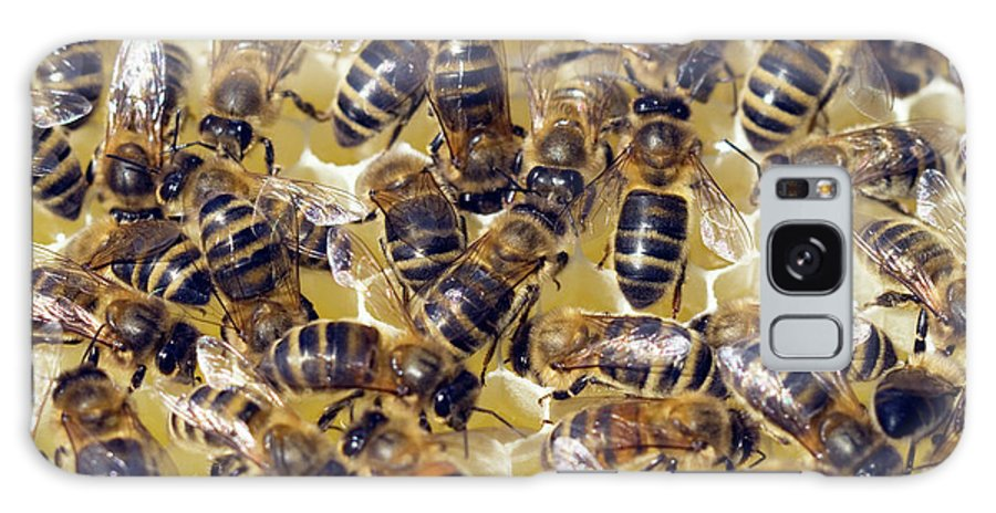Apis Mellifera Galaxy Case featuring the photograph Honeybees On Honeycomb by Simon Fraser/science Photo Library