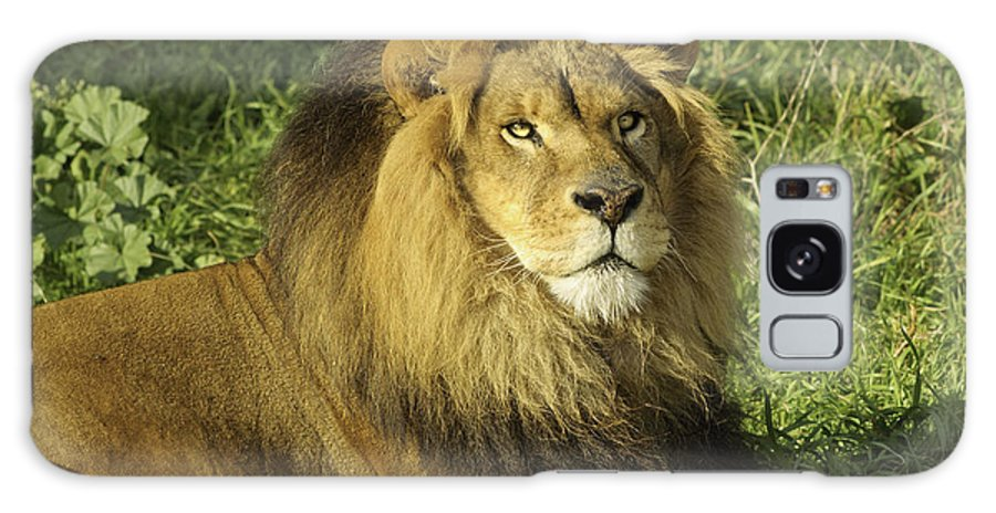 African Galaxy S8 Case featuring the photograph Lion Resting by Jeffrey Banke