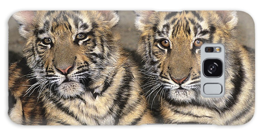Bengal Tigers Galaxy S8 Case featuring the photograph Little Angels Bengal Tigers Endangered Wildlife Rescue by Dave Welling