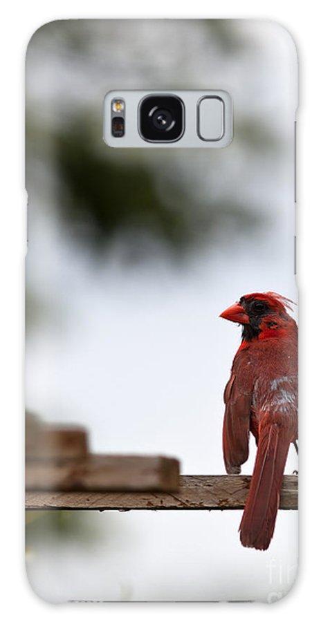 Cardinal Galaxy S8 Case featuring the photograph Male Cardinal Bird Closeup by Brandon Alms