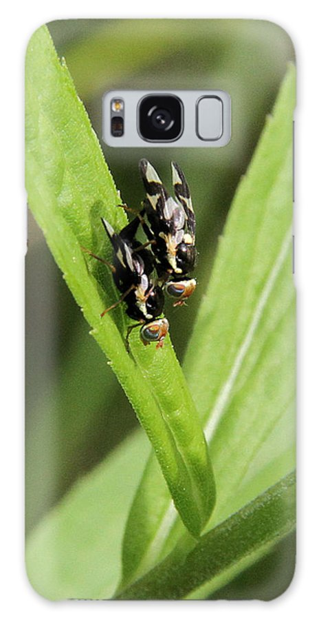 Urophora Cardui Galaxy S8 Case featuring the photograph Mating Fruit Flies by Doris Potter