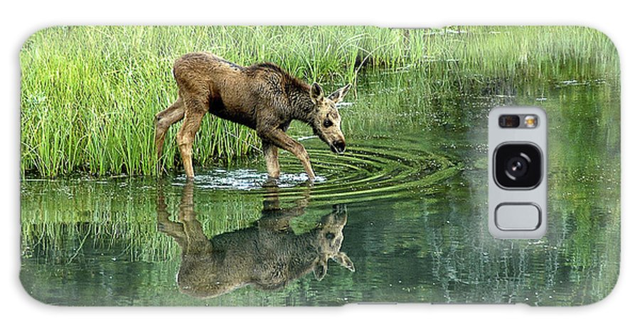 Moose Galaxy S8 Case featuring the photograph Moose Calf Testing The Water by Timothy Flanigan