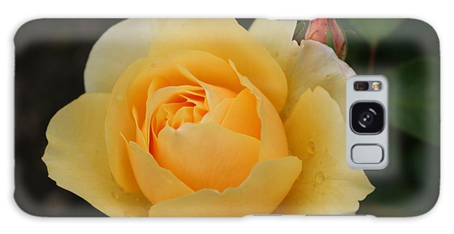 Rose Galaxy S8 Case featuring the photograph Morning Dew Rose by Christiane Schulze Art And Photography