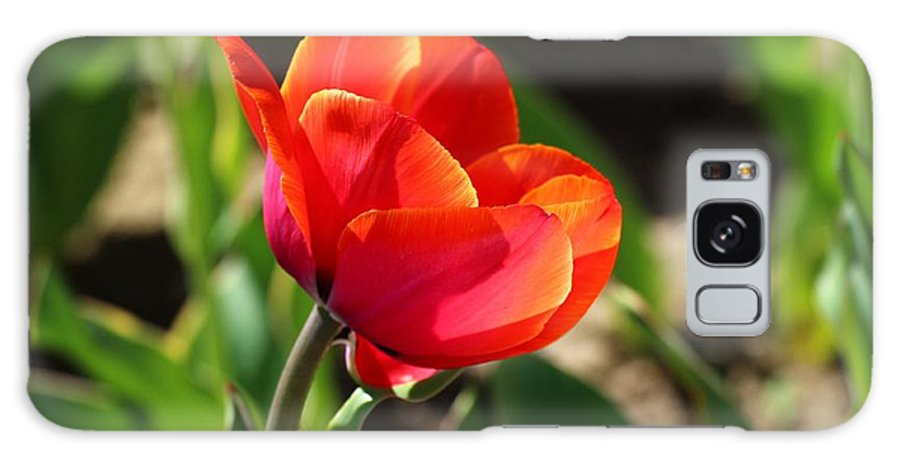 Tulip Galaxy S8 Case featuring the photograph Multicolored Tulip by Lynn Hopwood