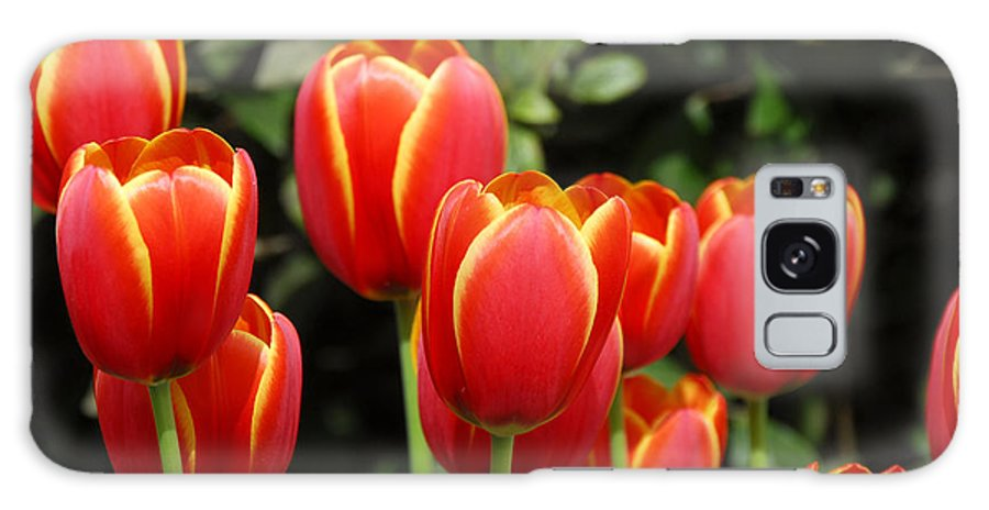 Pacific Galaxy Case featuring the photograph Pacific Northwest Tulips 6 by Keith Gondron