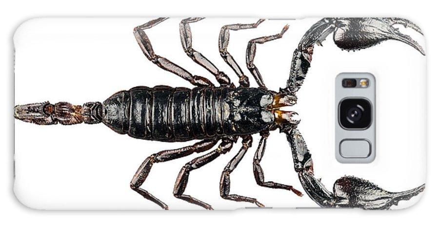 Arachnid Galaxy S8 Case featuring the photograph Palamnaeus Fulvipes by Pablo Romero